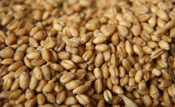 العناصر الغذائية في حبوب القمح المطهوّة, السعرات الحرارية - الكربوهيدرات - العناصر الغذائية في حبوب القمح المطهوّة