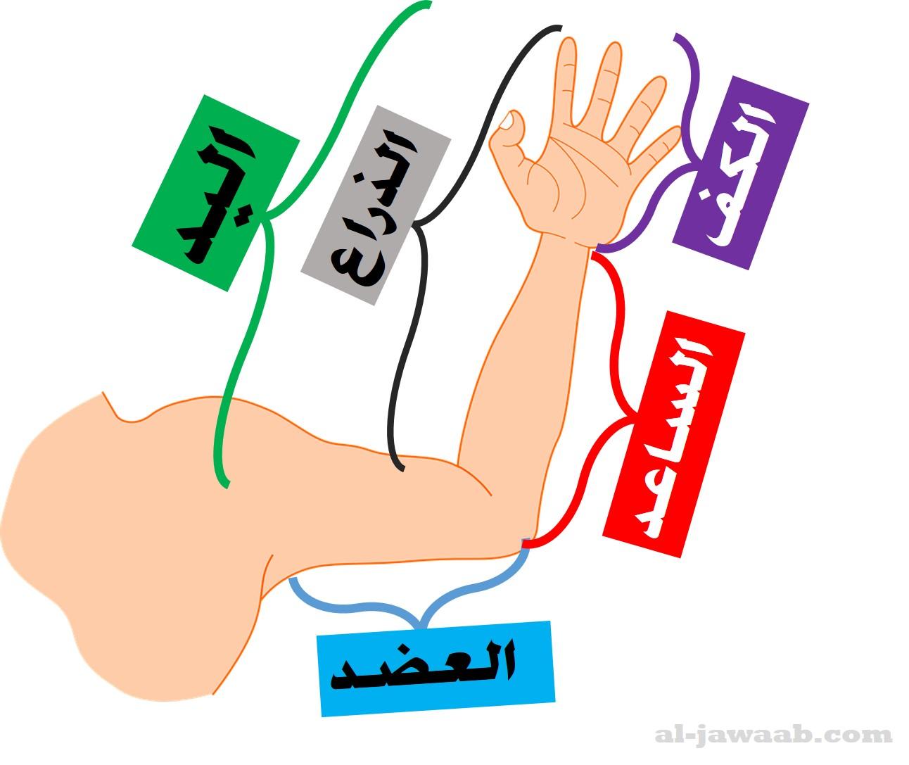 العضد, الكف, اليد, الساعد, الذراع